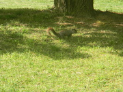 19th Apr 2020 - Squirrel with Blonde Tail