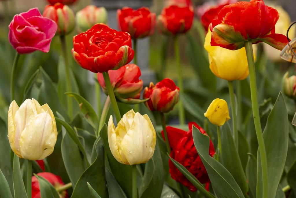 Beautiful display of tulips my garden by bizziebeeme