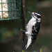 Downy Woodpecker by lsquared