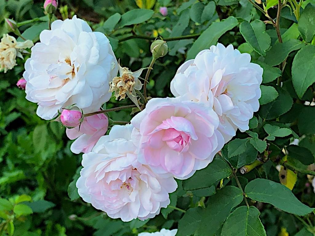 Roses at Hampton Park by congaree