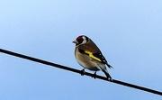 20th Apr 2020 - Goldfinch