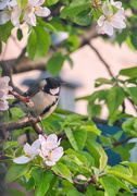 20th Apr 2020 - Coal Tit.