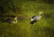 20th Apr 2020 - East African Crowned Crane