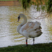 Early morning swan by busylady