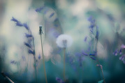 19th Apr 2020 - Dandelion Dreams