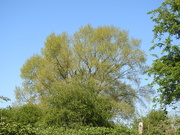 19th Apr 2020 - Tree