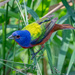 Painted Bunting by backyardbirdnerd