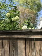 21st Apr 2020 - Sneaking Over the Fence