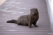 20th Apr 2020 - Hello little mink!