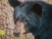 20th Apr 2020 - Portrait of a Black Bear