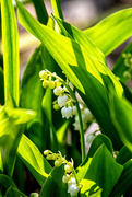 21st Apr 2020 - Lilly of the Valley