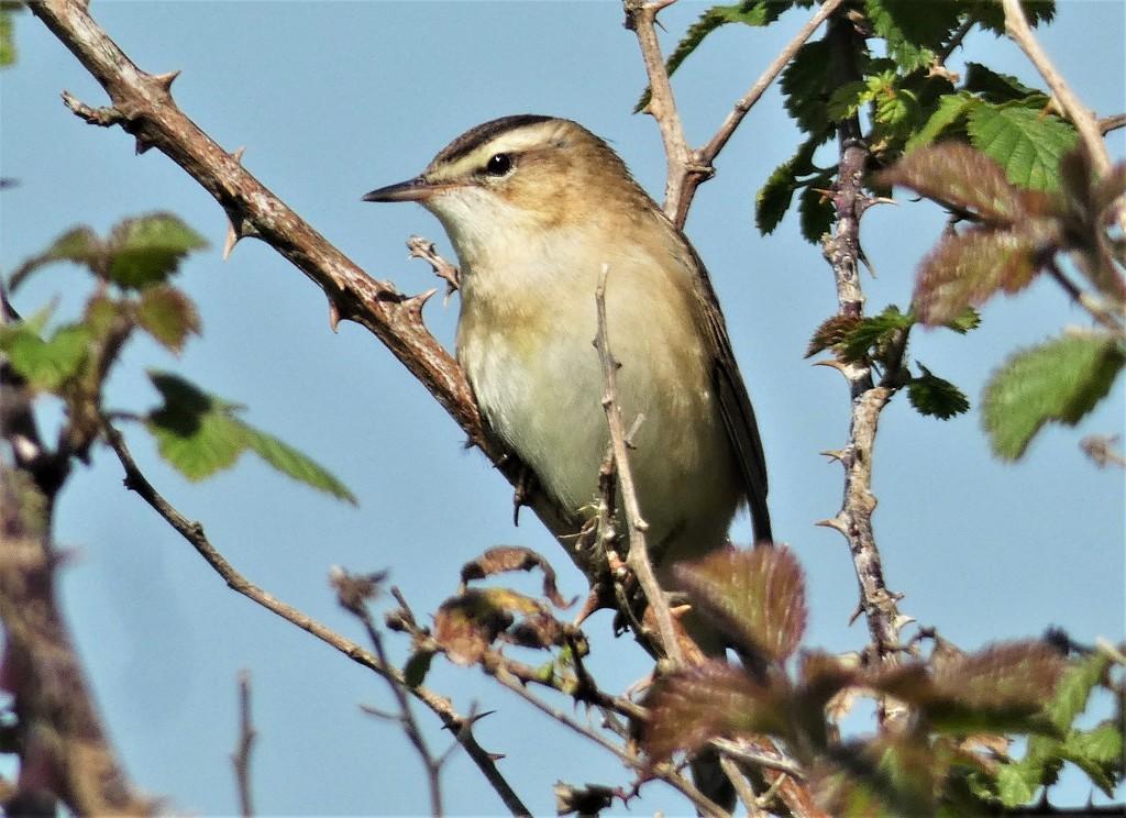 Sedge Warbler by julienne1