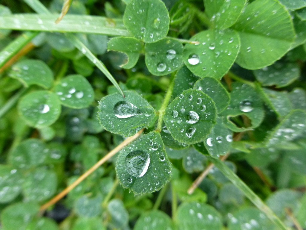Clover Closeup by difof105