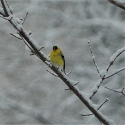 21st Apr 2020 - A Surprised Goldfinch