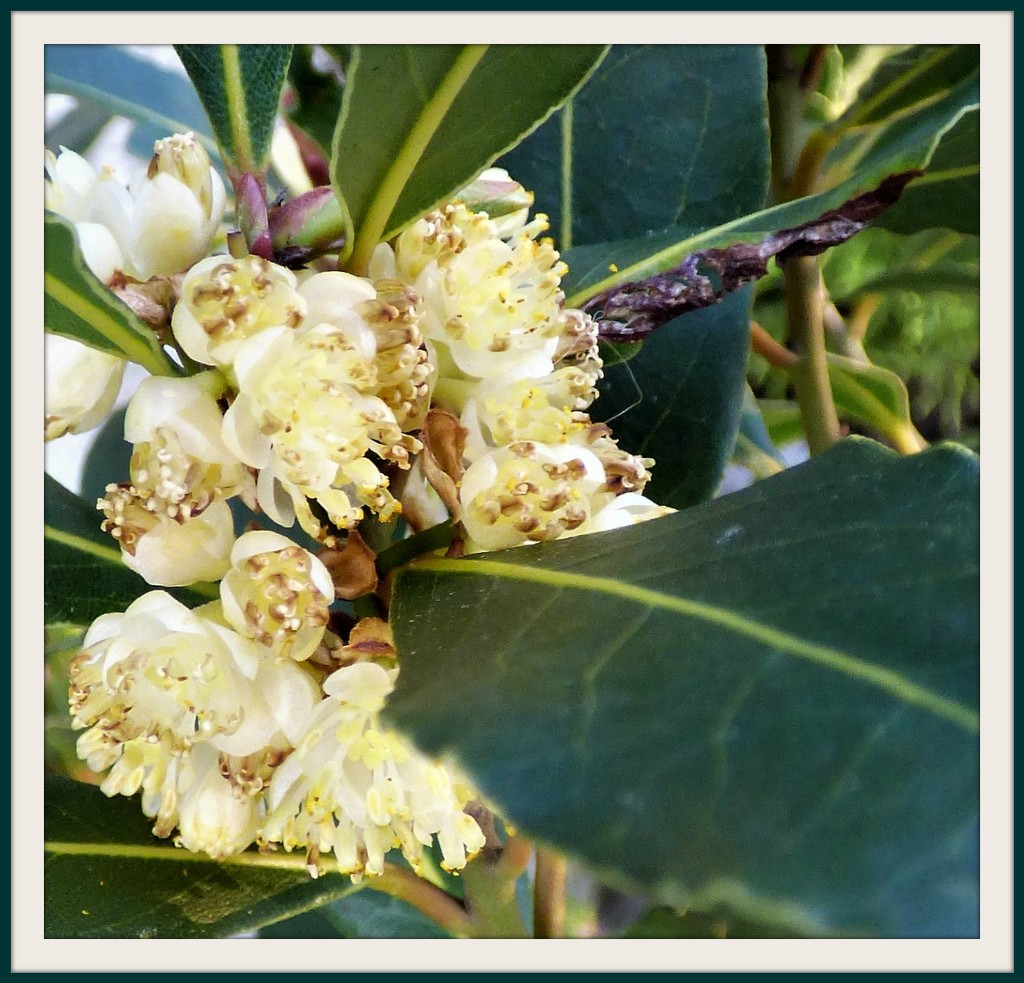 Bay-tree blossom  by beryl