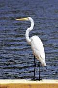 20th Apr 2020 - Great Egret
