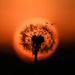 Dandelion Sunset by kareenking