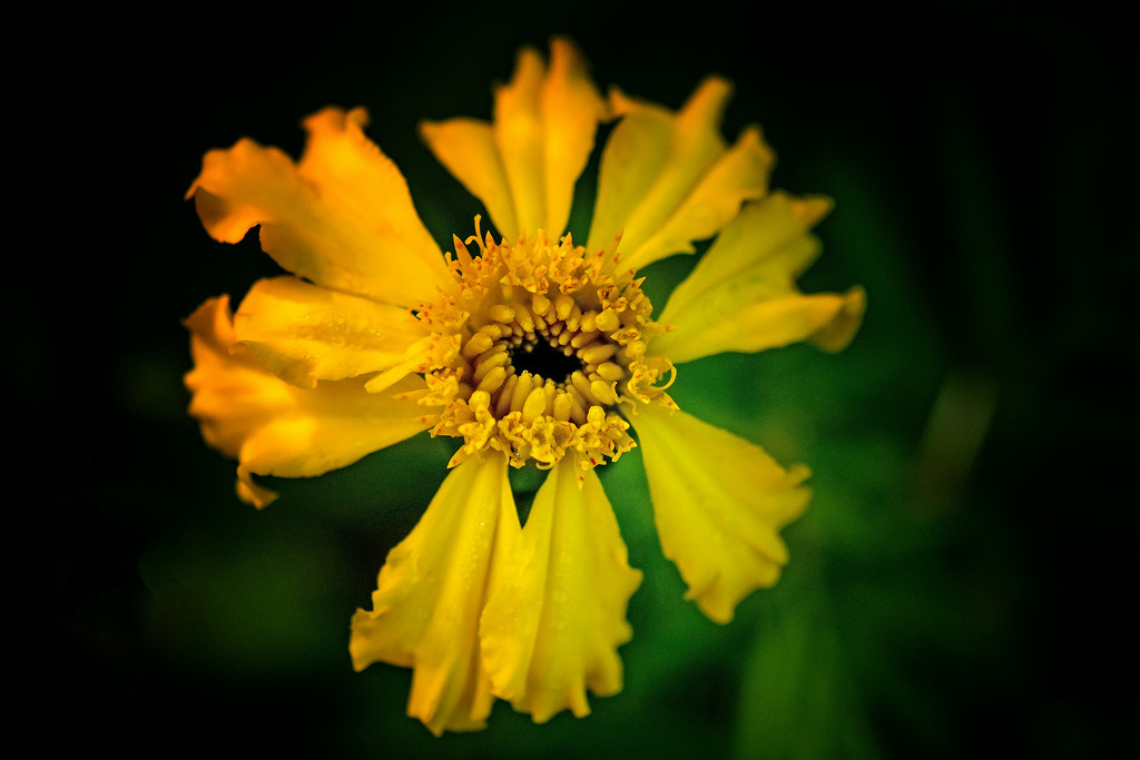 Marigold by maureenpp