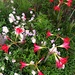 Patterns in the amaryllis, Hampton Park Garden