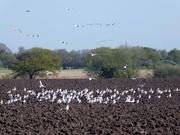 21st Apr 2020 - A Flock of Seagulls