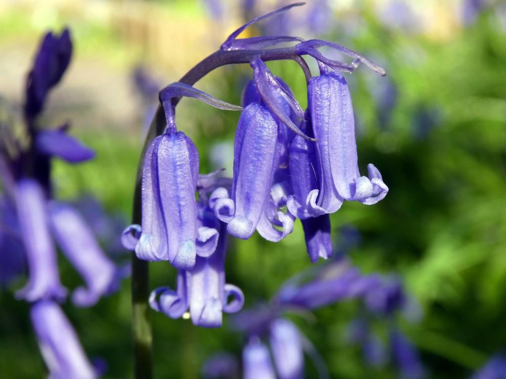 Bluebells in the Garden by cmp