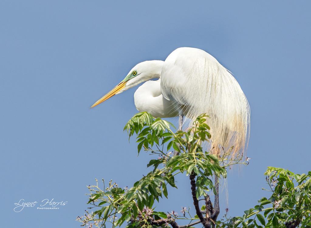 Great Egret by lynne5477