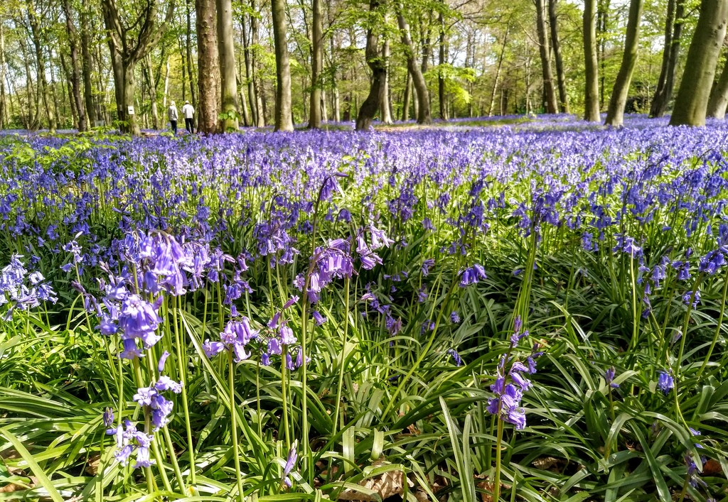 Bluebells in Wanstead Park by boxplayer