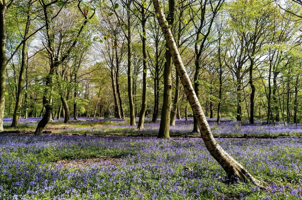 Carpet of bluebells by boxplayer