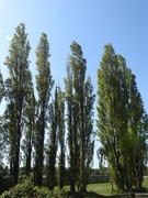 21st Apr 2020 - Poplar Trees