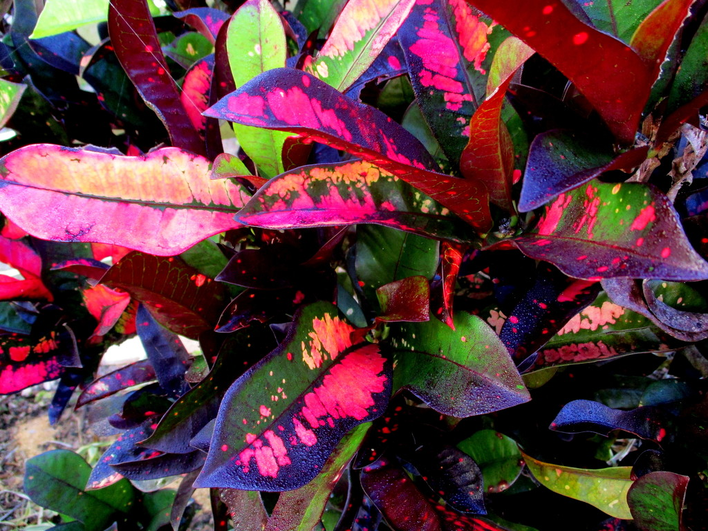 Leaves  Series   Very tropical shrub  (Crotons) by 777margo
