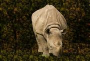 23rd Apr 2020 - Photoshop fun with a Rhino
