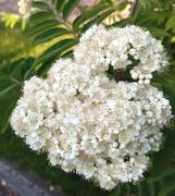 23rd Apr 2020 - Rowan Blossom