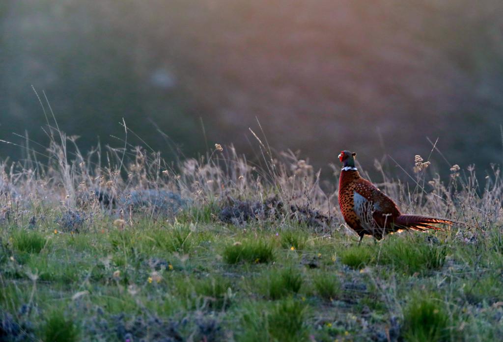 Pleasant Pheasant by gq