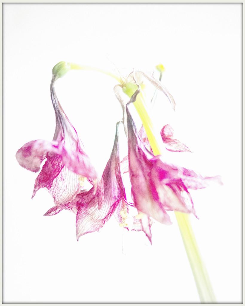 Faded amaryllis by lostphojo