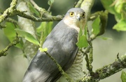 23rd Apr 2020 - Sparrowhawk