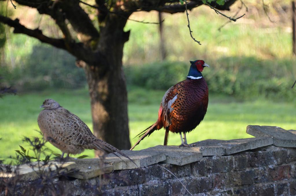 Pheasants by arkensiel