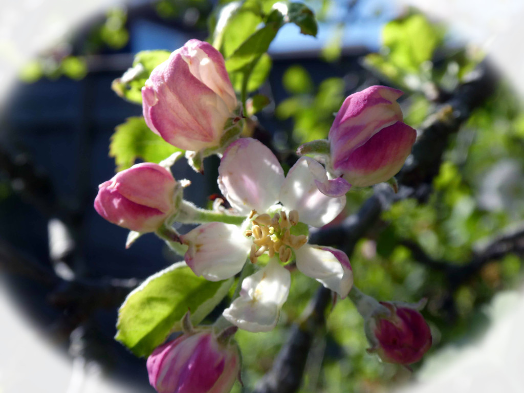 Apple Blossom by cmp