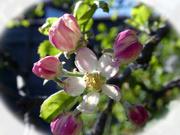 23rd Apr 2020 - Apple Blossom