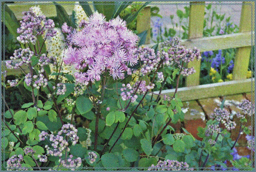 fuzzy flowerheads by beryl