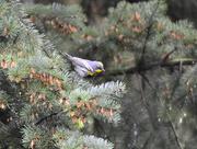 23rd Apr 2020 - Audubon's Yellow-Rumped Warbler