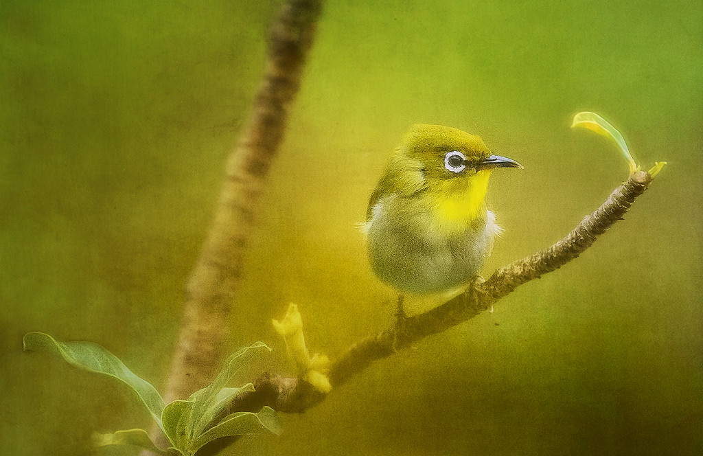 Japanese White Eye with Texture by jgpittenger