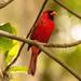 Mr Cardinal Sounding Off! by rickster549
