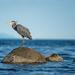 Heron by kwind