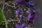 23rd Apr 2020 - Violets in Bubbles