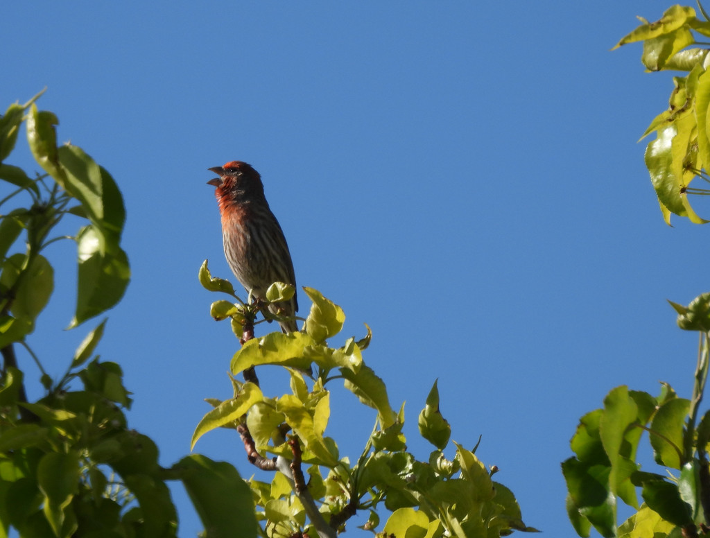 House Finch by janeandcharlie