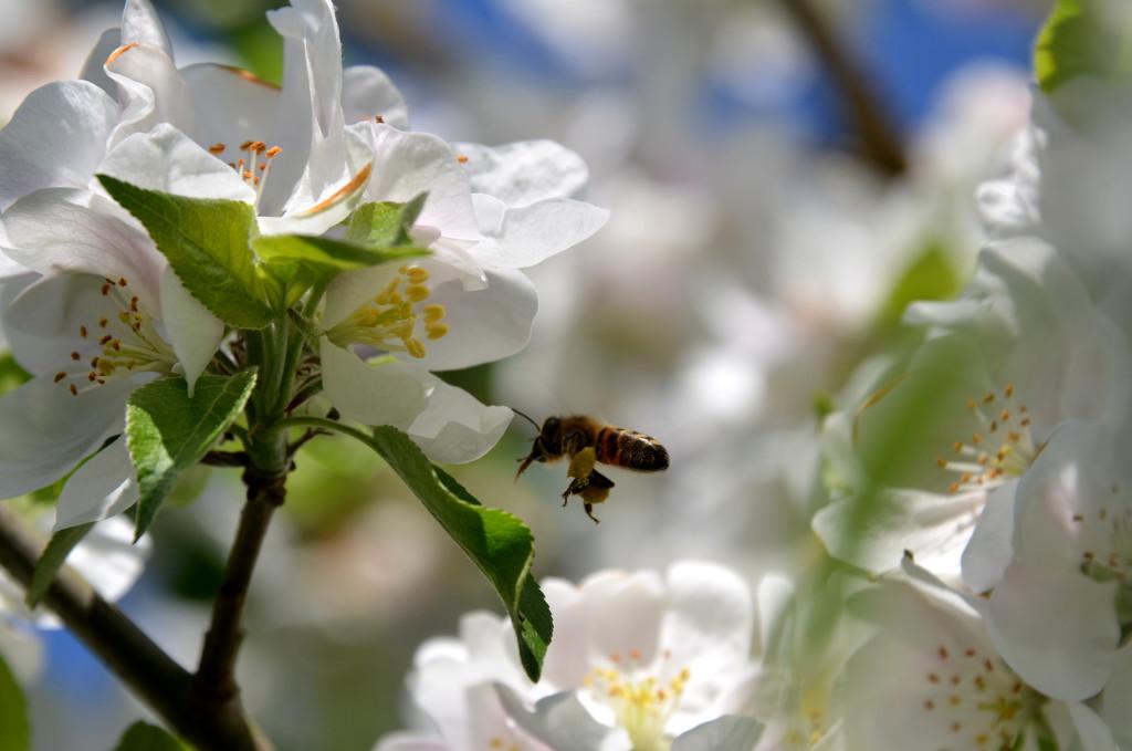 Bee in Flight by arkensiel