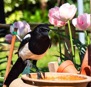 25th Apr 2020 - Magpie