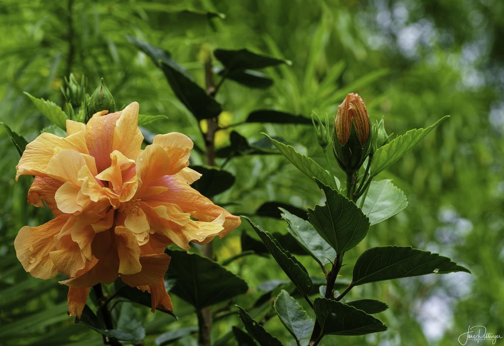 Orange Hibiscus  by jgpittenger