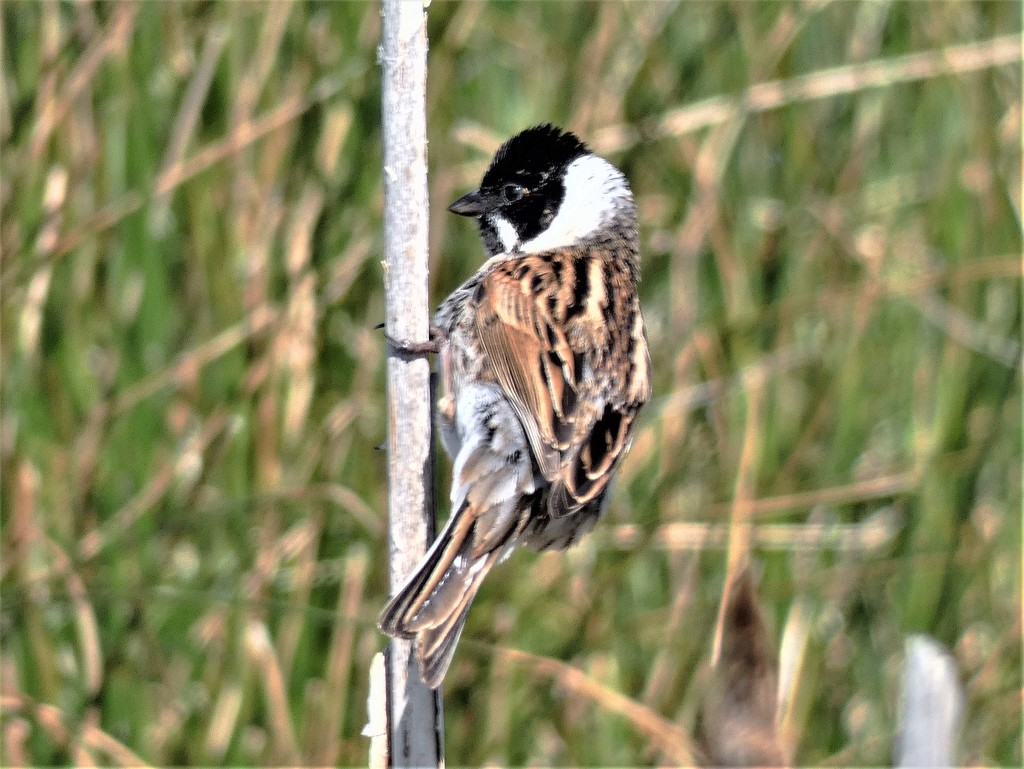 Reed Bunting male by julienne1