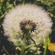 24th Apr 2020 - Dandelion
